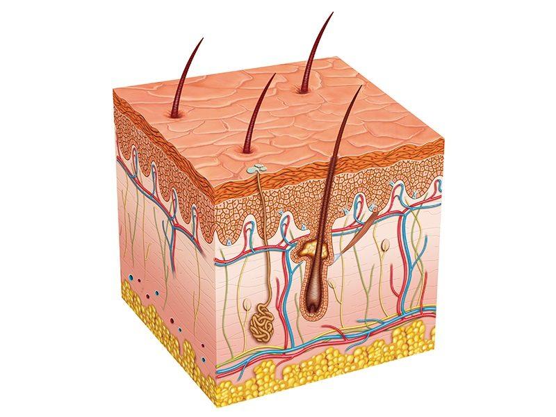 تحلیل و بررسی پوست بدن