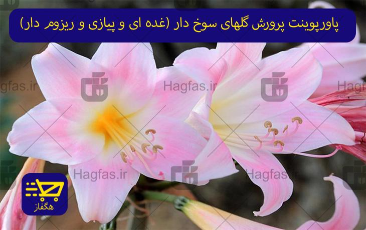 پاورپوینت پرورش گلهای سوخ دار (غده ای و پیازی و ریزوم دار)